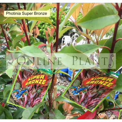 Photinia Super Bronze