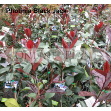 Photinia Black Jack