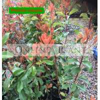 Photinia Robusta