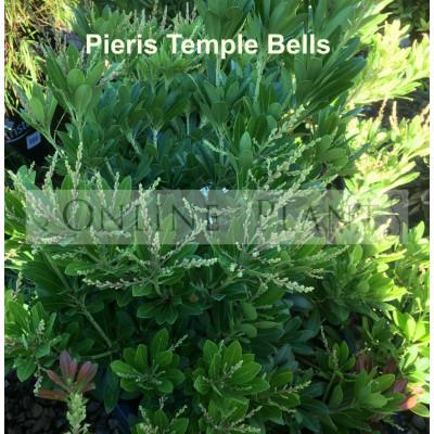 Pieris Japonica Temple Bells