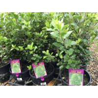 Pittosporum Kiwi Jade