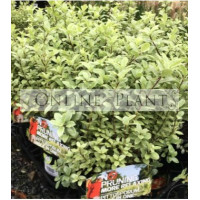 Pittosporum Hole In One