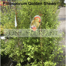 Pittosporum tenuifolium Golden Sheen