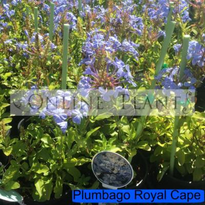 Plumbago Royal Cape