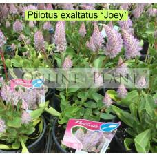 Ptilotus 'Joey'