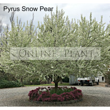 Pyrus nivalis snow pear Ornamental Pear