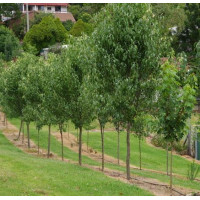 Pyrus calleryana x betulaefolia 'Edgedell' - Edgewood Ornamental Pear
