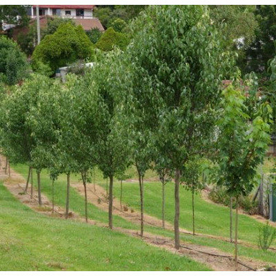 Pyrus calleryana x betulaefolia 'Edgedell' - Edgewood