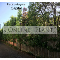 Pyrus calleryana Capital, ornamental pear