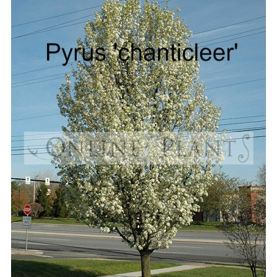 Pyrus Chanticleer Pear