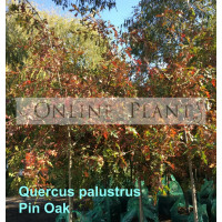 Quercus palustris Pin Oak