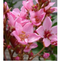 Raphiolepsis apple blossom, Indian Hawthorn