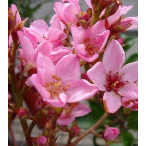 Raphiolepsis Apple Blossom For Sale Online Plants Australia