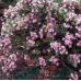 Raphiolepsis apple blossom, Indian Hawthorn