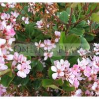 Raphiolepsis Umbellata Springtime