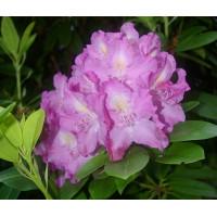 Rhododendron, Anica Bricogne
