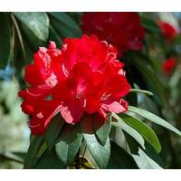 Rhododendron, Bibiaani