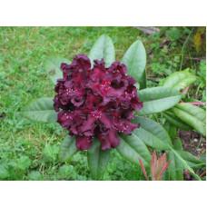 Rhododendron, Black Prince