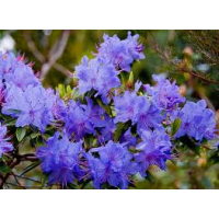 Rhododendron, Blue Admiral