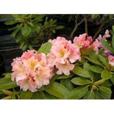 Rhododendron, Bronze Wing