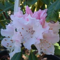 Rhododendron, Christmas Cheer