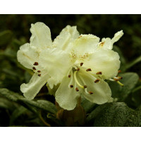 Rhododendron, Chrysomanicum