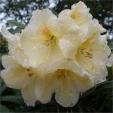 Rhododendron, Claire