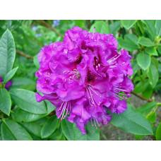 Rhododendron, Colonel Coen