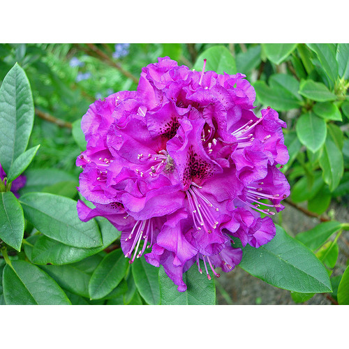 Rhododendron Colonel Coen For Sale Online Plants Australia