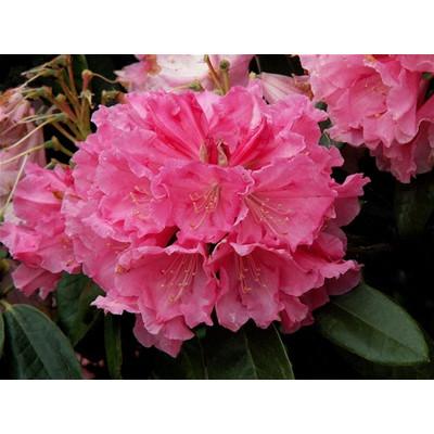 Rhododendron, Countess of Normington