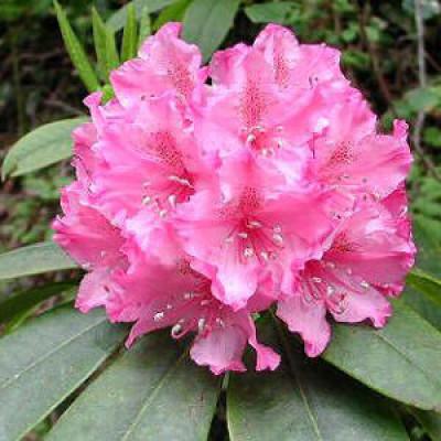 Rhododendron, Dorinthia