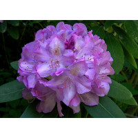 Rhododendron, Elegans