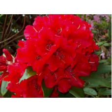 Rhododendron, Fireman Jeff