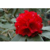 Rhododendron, Jean Marie De Montague