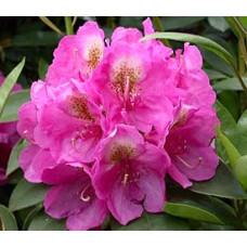 Rhododendron, Kate