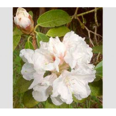 Rhododendron, Mount Everest