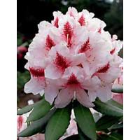Rhododendron, Mrs G W Leak