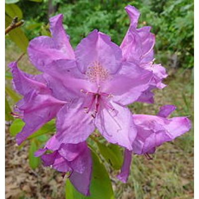 Rhododendron, Ponticum