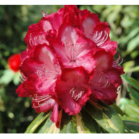 Rhododendron, President Rooseveldt