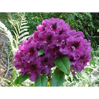 Rhododendron, Purple Splendour