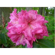 Rhododendron, Ross Maude