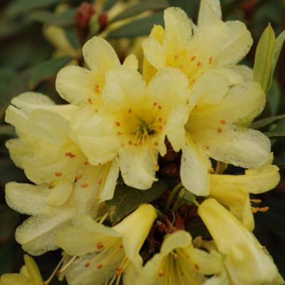 Rhododendron, Saffron Queen
