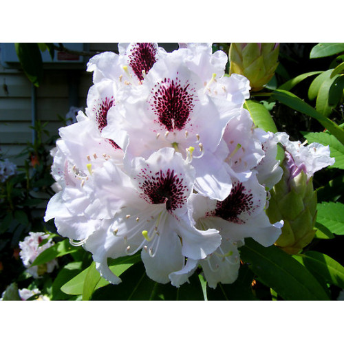 Rhododendron Sappho Online Plants Melbourne Australia