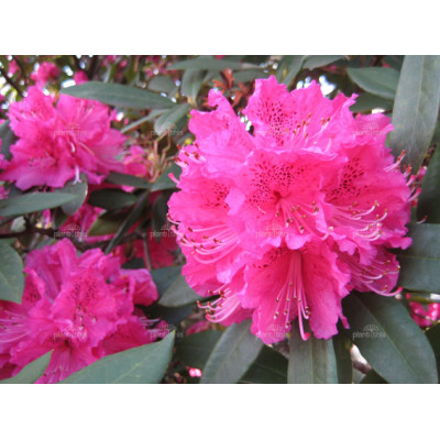 Rhododendron, Sir Robert Peel