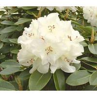 Rhododendron, Unique