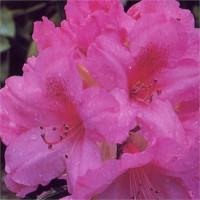 Rhododendron, Van