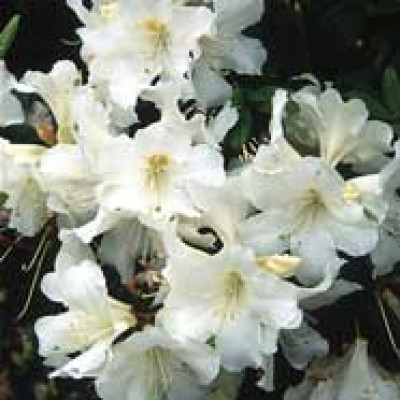 foto de Rhododendron Wedding Gown for Sale Online Plants Australia