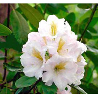 Rhododendron, White Flare