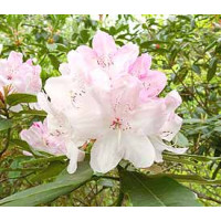 Rhododendron, White Pearl
