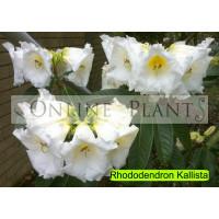 Rhododendron, Kallista